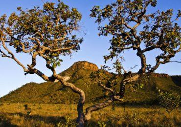Vegetation in the Cerrado savanna, Brazil. Photo via Câmara dos Deputados