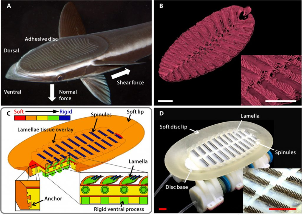 Making of a robotic ramora. Image via Science Robotics, A biorobotic adhesive disc for underwater hitchhiking inspired by the remora suckerfish
