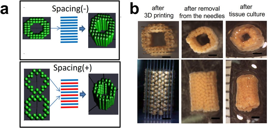 The design and fabrication of a tubular liver spheroid sample. Image via Scientific Reports