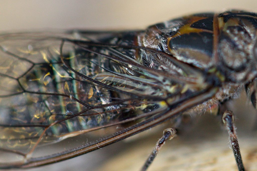 Cicada wings are incredibly effective at repelling water and other liquids. Photo by Julie Burgher