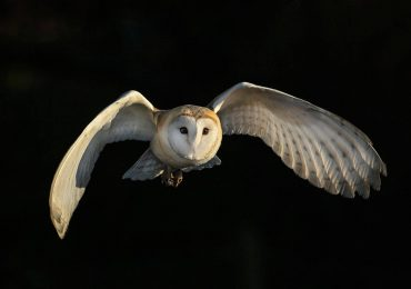 A barn owl in flight. Photo by Pete Whieldon