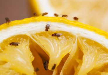Fruit flies on a squeezed lemon slice. Photo via Food Network