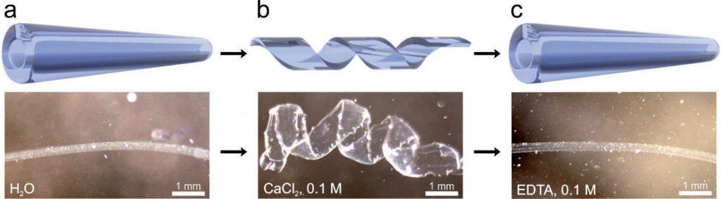 Self-folding progress of the 4D bioprinted vessels. Image via Advanced Materials