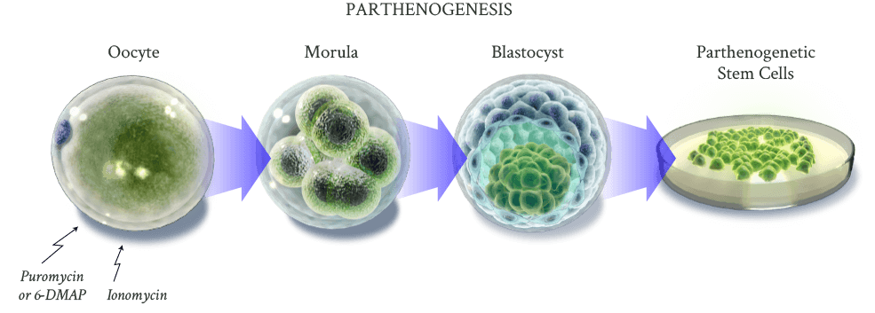 Development of stem cells in parthenogenesis. Image via ISCO