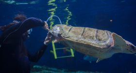 The Loggerhead turtle being fitted with the brace underwater. Photo via Birch Aquarium.