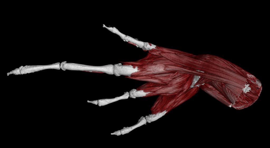 Even delicate structures, such as the muscles in the hand of this Tanzanian screeching frog, Artholeptis tanneri, can be visualized and digitally dissected using contrast-enhanced CT. Florida Museum of Natural History image by Ed Stanley.