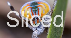 SLiced logo over a photo of a male peacock spider's rainbow mating display. Original photo by Jürgen Otto