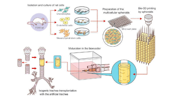 Diagram of the process showing cell maturation and 3D printing. Image via Interactive CardioVascular and Thoracic Surgery.