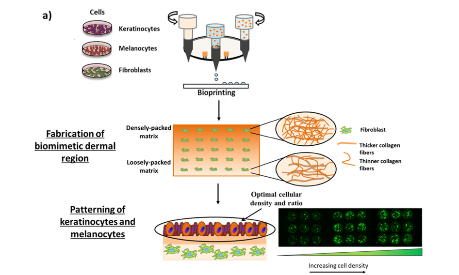 Step by step process of 3D bioprinting skin samples in the A*STAR approach. Image via Biofabrication journal