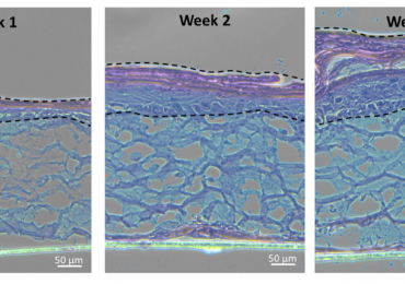 A thickening epidermis in 3D bioprinted samples over the course of four weeks. Image via Biofabrication journal.