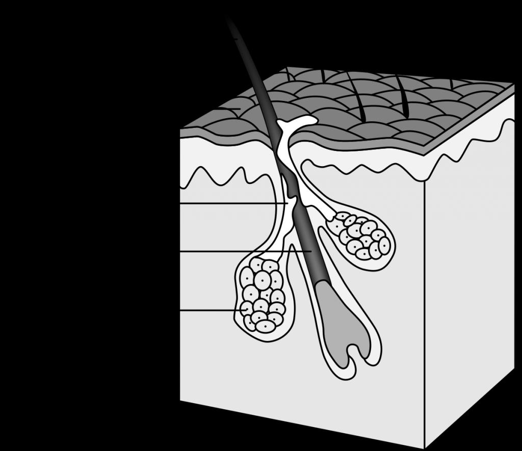 A hair follicle and sebaceous gland model. Photo via Wikimedia.