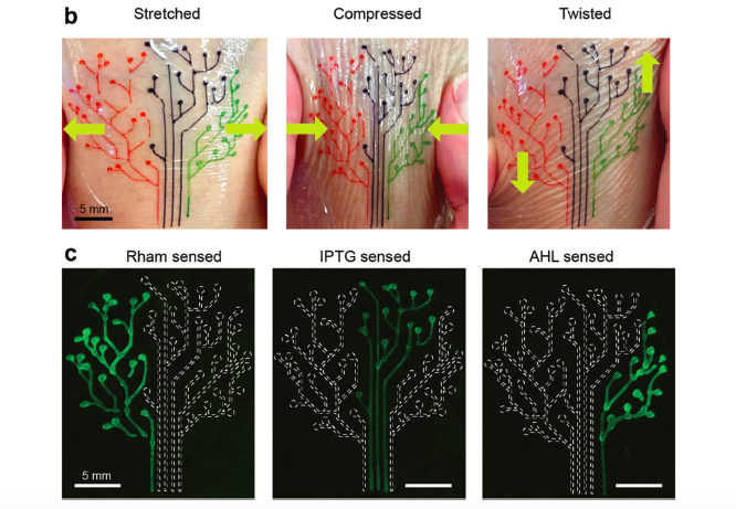 Diagram showing the 3D printed tattoo (b) in various stretched states (c) lighting up in reaction to different sections. Image via VCH-Verlag.