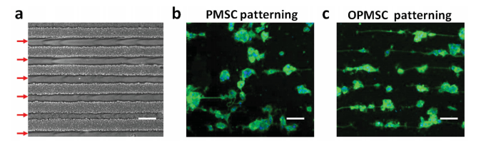 a) Optical microscopy (OM) image showing the patterning morphology OPMSC arrays with a thickness of ≈30 µm obtained by AJP. b) PMSC and c) OPMSC arrays demonstrates that OPMSC can maintain structural stability in the biological microenvironment. Image via ZJU/NCU.