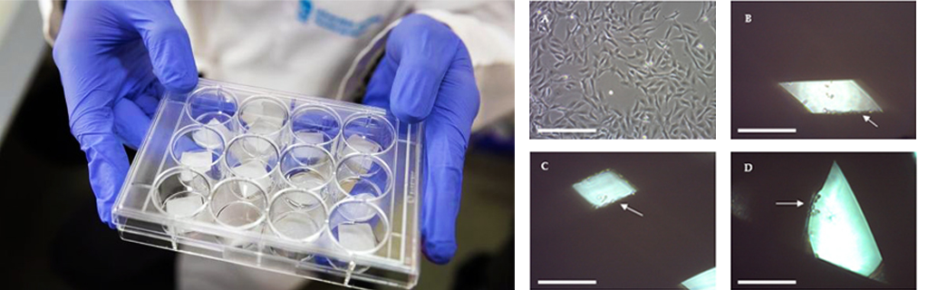 Arrows point to cell adhesion on 3D printed scaffolds. Image left shows scaffolds in culture media. Image via The International Journal of Molecular Sciences