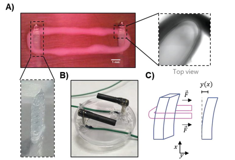 3D bioprinted muscle with supports. Image via Wiley