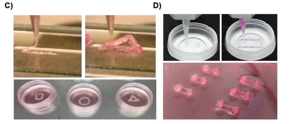 3D printing muscle tissues for soft robotics application. Image via Wiley.