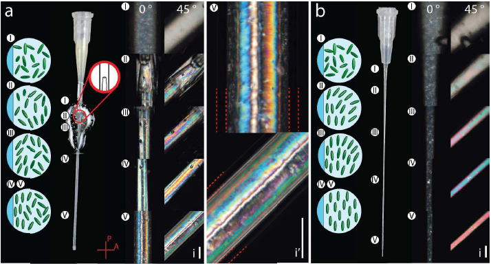 CNC particle alignment under pure shear flow during extrusion (a) and extensional flow (B). Image via ACS Nano