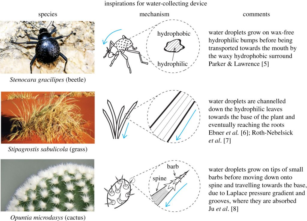Water collecting devices of desert beetles, cacti and grass. Image via Philosophical Transactions of the Royal Society.