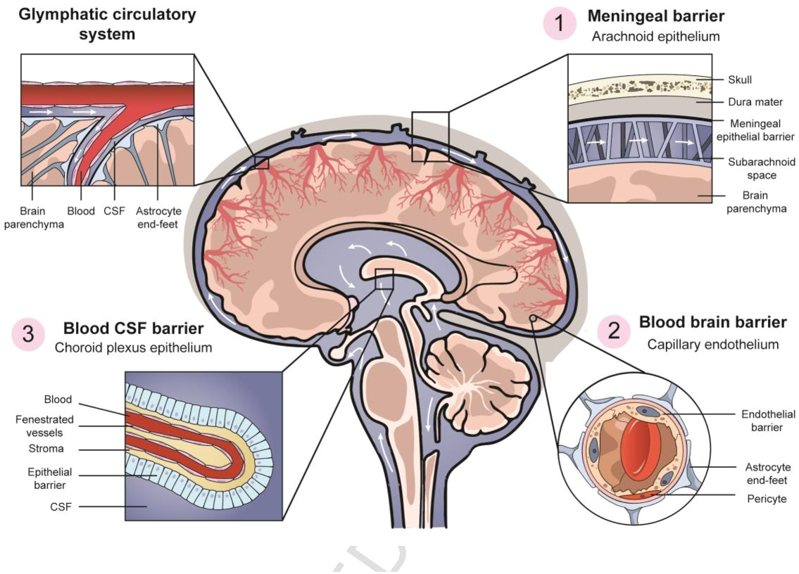 A representation of the blood-brain barrier. Image via Elsevier.