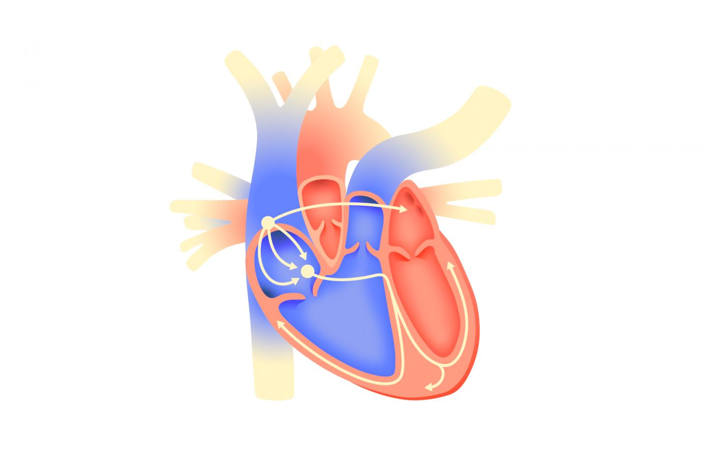 An illustration depicting an electrical excitation initiated in the right atrium spreading through the cardiac conduction system. Image via tsarcyanide/MIPT.