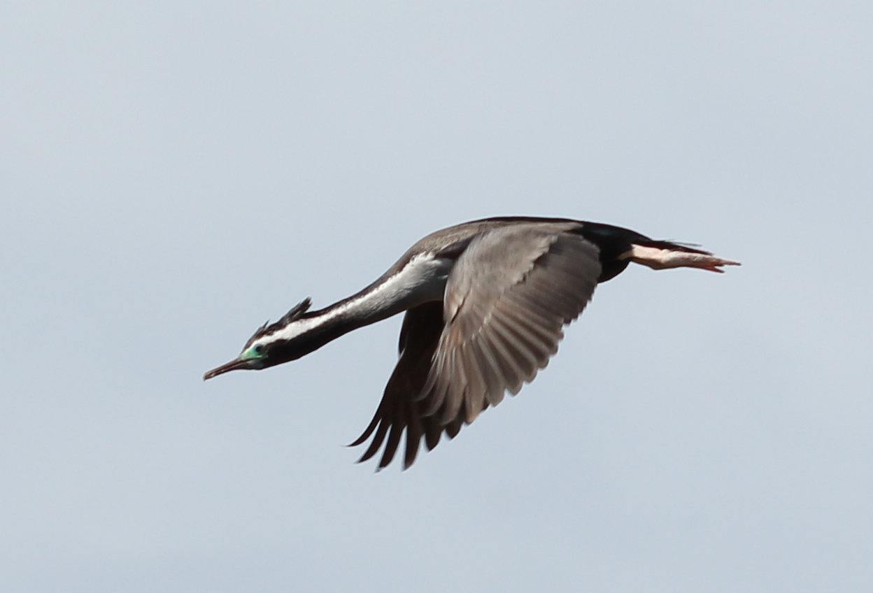 A flying spotted shag in breeding plumage. Image via Wikimedia Commons.