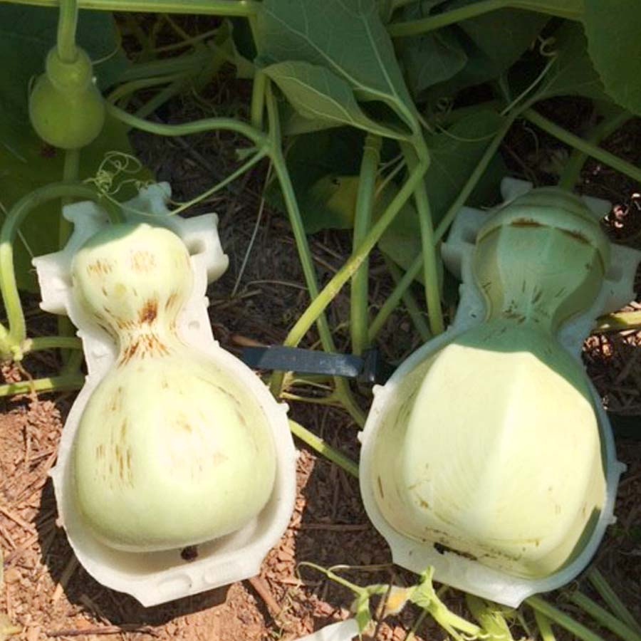 Gourds growing in the 3D printed molds to create a biodegradable vase. Photo via CRÈME.