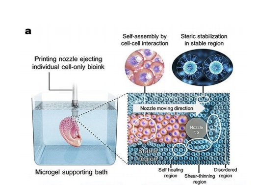 3D printing cells within the microgel supporting medium. Microgels in the supporting medium fluidize via their shear-thinning properties when stress is applied by motion of the printing needle and cell-only bioink and rapidly fill in after the needle passes by self-healing properties. Image via UIC.