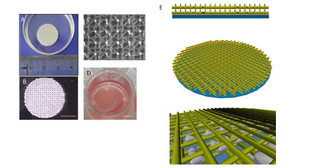(A) The scaffold construct showing bulk size, (B) demonstrating that its transparency (C) a micrograph showing a magnified (D) and the scaffold in culture conditions. (E) A conceptual schematic of the scaffolds with the filament shown in yellow, the mesh layer in blue and cells represented in grey. Image via AHT/UEA.