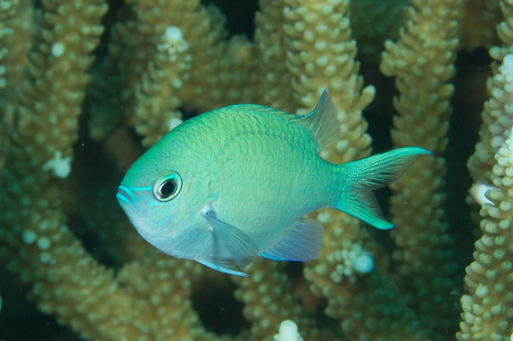Chromis viridis, an apple green-light blue iridescent species of damselfish used by Ruhl and Dixon in the 3D printed coral settlement study. Photo by Mark Rosenstein/iNaturalist