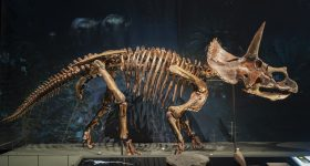 The skeleton of Dirk the Triceratops on Display at Naturalis, featuring 3D printed bones. Photo via Naturalis