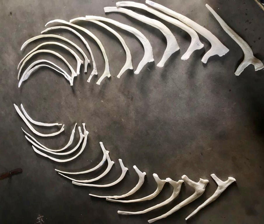 The 26 3D printed ribs of the Triceratops. Photo via Naturalis.
