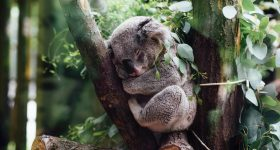 Sleeping koala. Photo via Jordan Whitt on Unsplash.