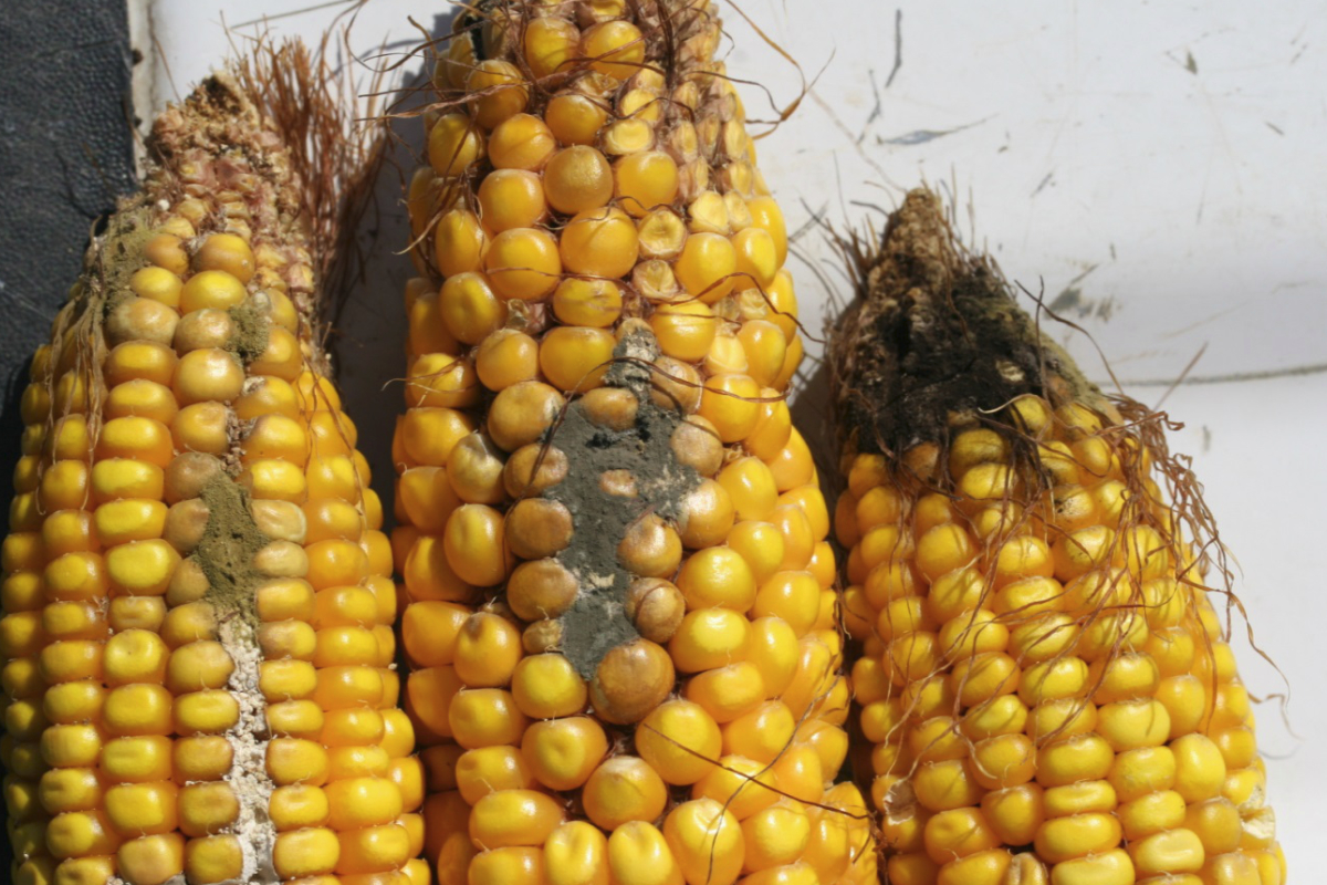 Mycotoxin growing on corn. Image via World Grain.