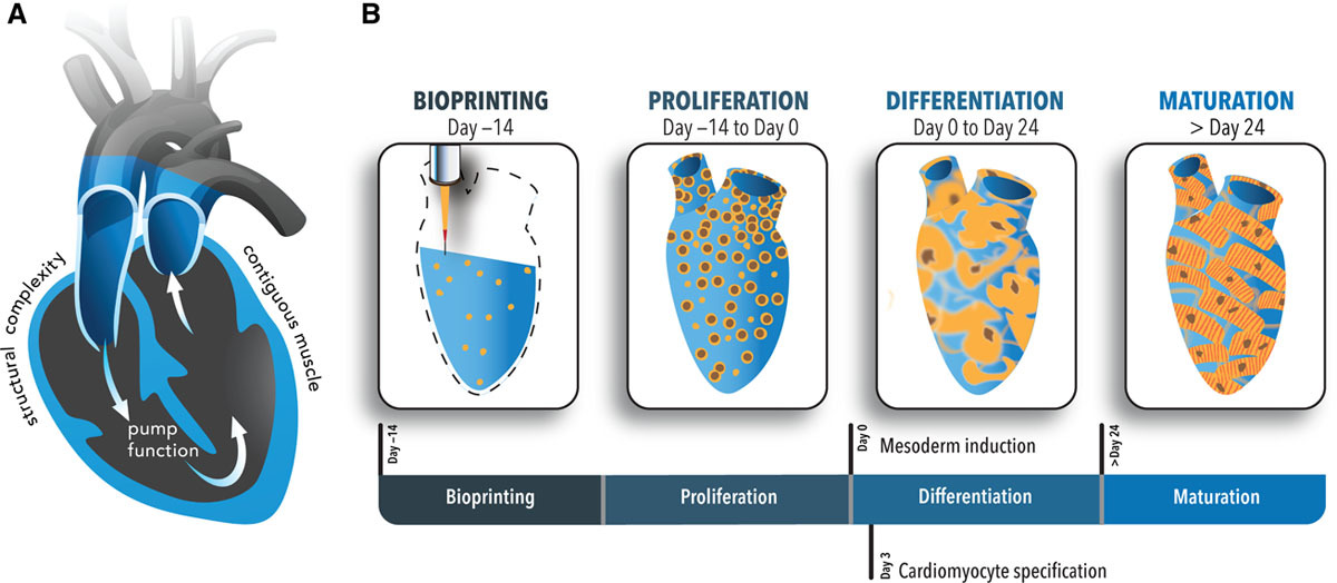 A diagram showing how cell proliferation evolves over 24 days following the bioprinting process. Image via the Circulation Research journal.