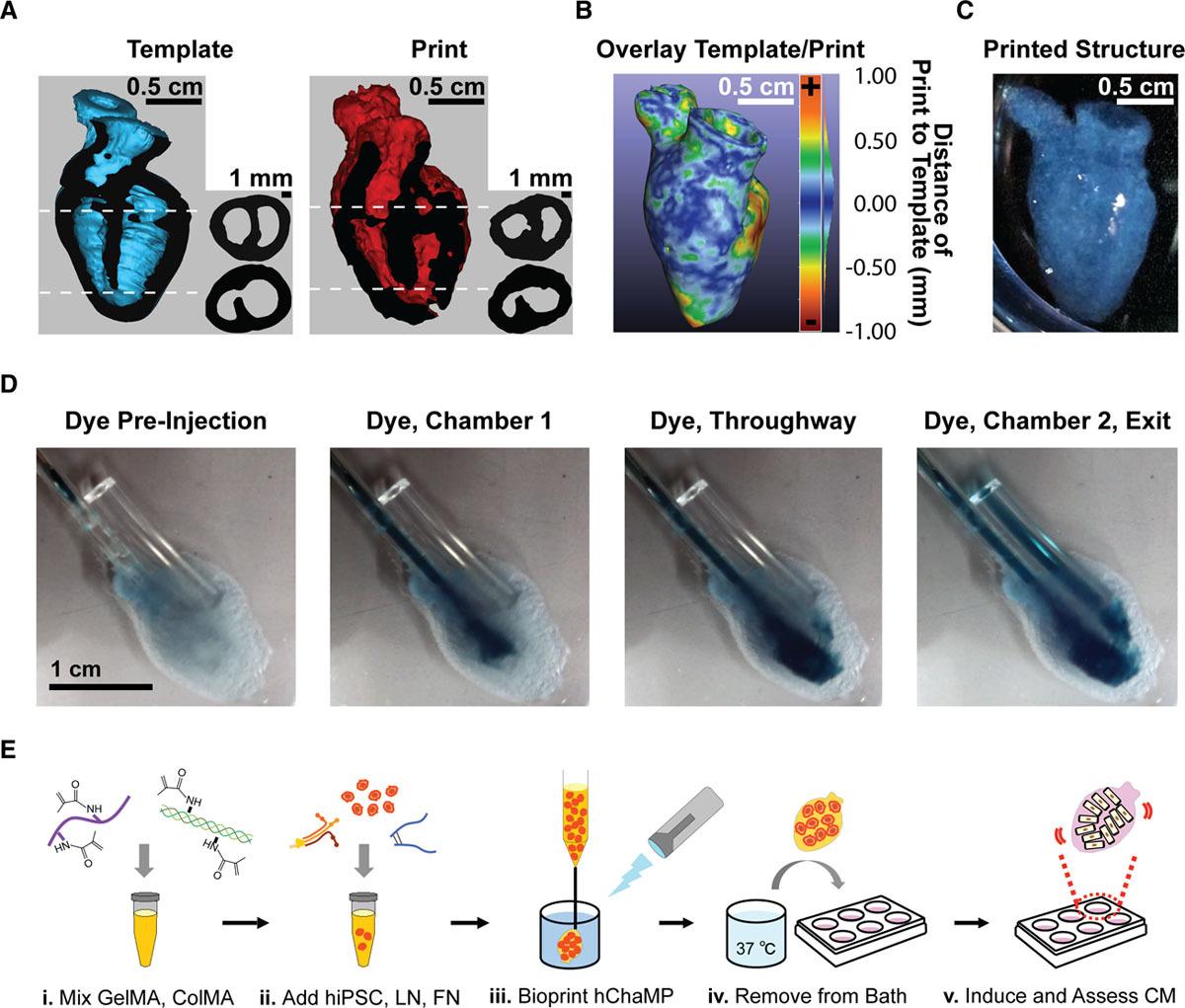 College of Minnesota researchers use 3D bioprinting to create beating human coronary heart 3