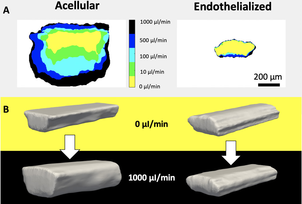 The LLNL team's vascular structures demonstrated the same storage modulus as real human brain tissue. Image via LLNL.