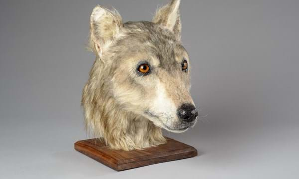 The reconstructed Neolithic canine skull. Image via Historic Environment Scotland.