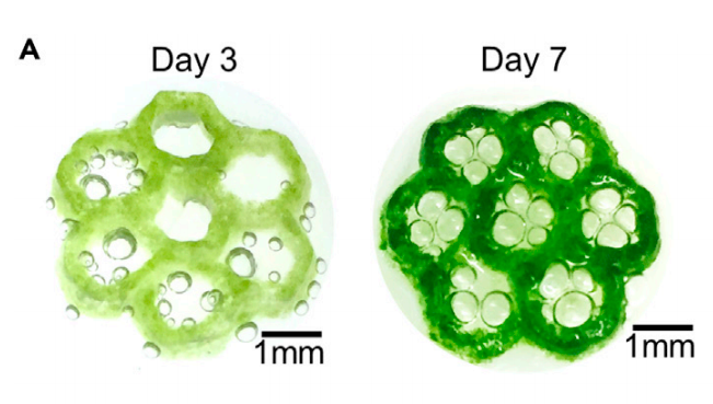 The research team's hexagonal bioprinted structures (pictured) proved capable of sustaining 92 percent of cells over seven days. Photo via the Matter journal.