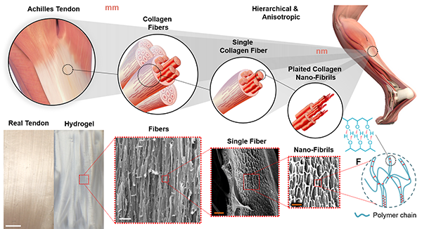 Diagram shows the artificial tendon material versus real tendons at different scales. Image via UCLA.