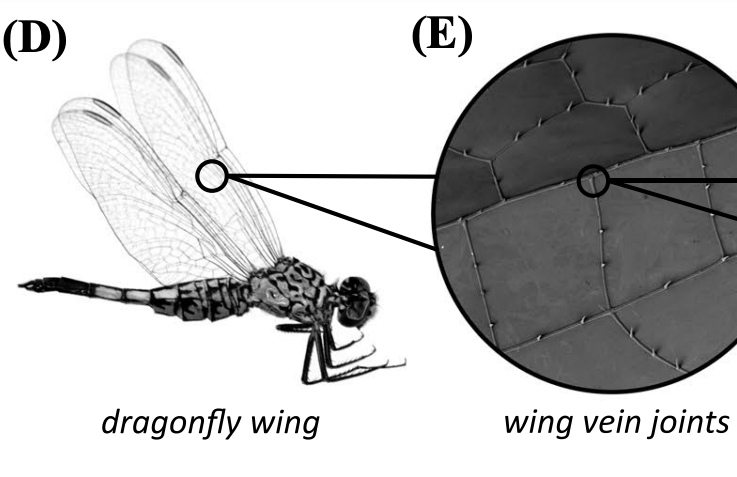 An image of a dragonfly, and a close-up of its wing vein joints.