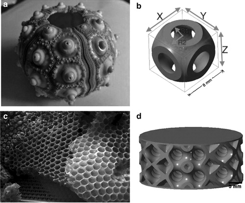 The researchers based their lattice structures on the design of sea urchin shells and the close packing structure seen in honeycombs. Image via 3D Printing and Additive Manufacturing/Mary Ann Liebert.