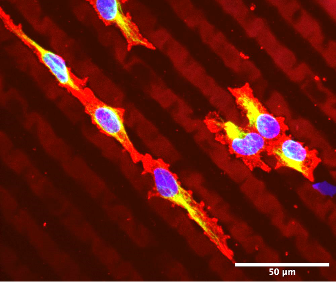 X Hydrobio INX U200 being used with corneal endothelial cells. Image via UpNano.