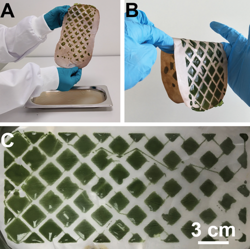 The 3D bioprinted algae samples could last three days without nutrients. Photo via TU Delft.