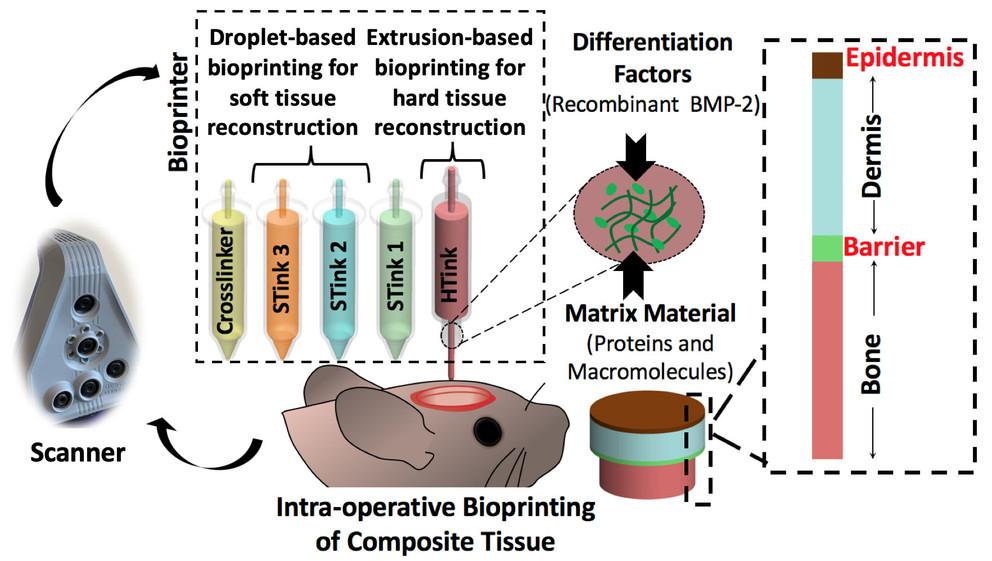 Schematic of the skin and bone bioprinting process. Image via Ozbolat Laboratory, Penn State.
