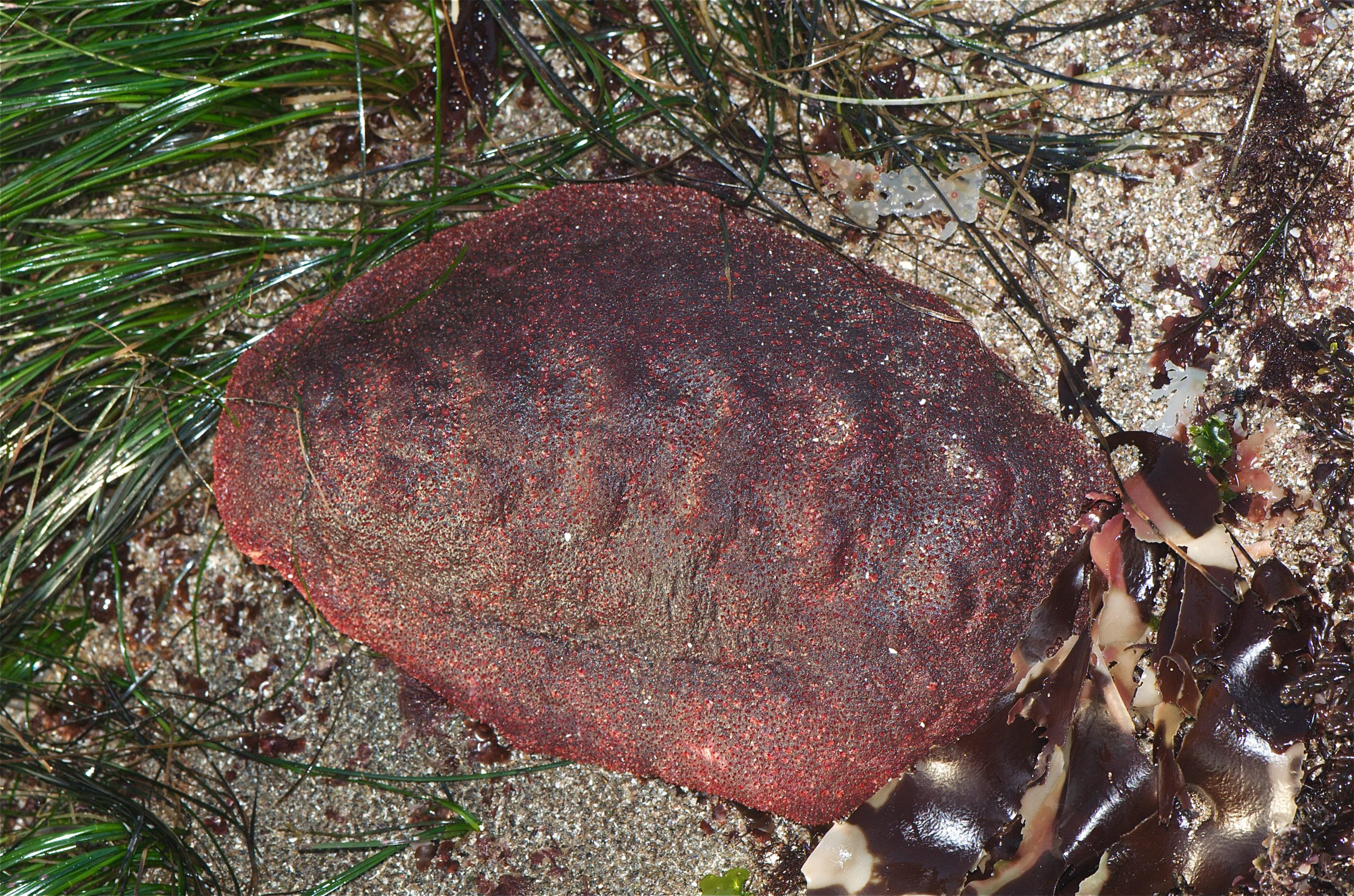 """Cryptochiton stelleri or """"wandering meatloaf"""" mollusk in the wild. Photo via Jerry Kirkhart."""