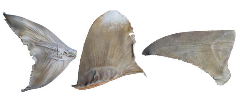 Replica shark fins after painting (Bowmouth Guitarfish (Rhina ancylostoma) caudal fin, Oceanic Whitetip Carcharhinus longimanus dorsal fin, and Great Hammerhead Sphyrna mokarran pectoral fin). Image via TRAFFIC.