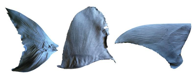 The replica shark fins after 3D printing using sintered nylon as the main material for printing (Bowmouth Guitarfish (Rhina ancylostoma) caudal fin, Oceanic Whitetip Carcharhinus longimanus dorsal fin, and Great Hammerhead Sphyrna mokarran pectoral fin). Image via TRAFFIC.