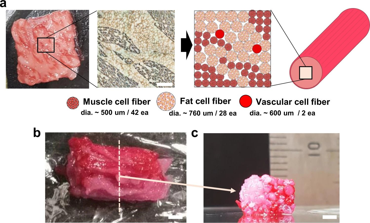 Assembly of fibrous muscle, fat, and vascular tissues to cultured steak. Image via Nature Communications.