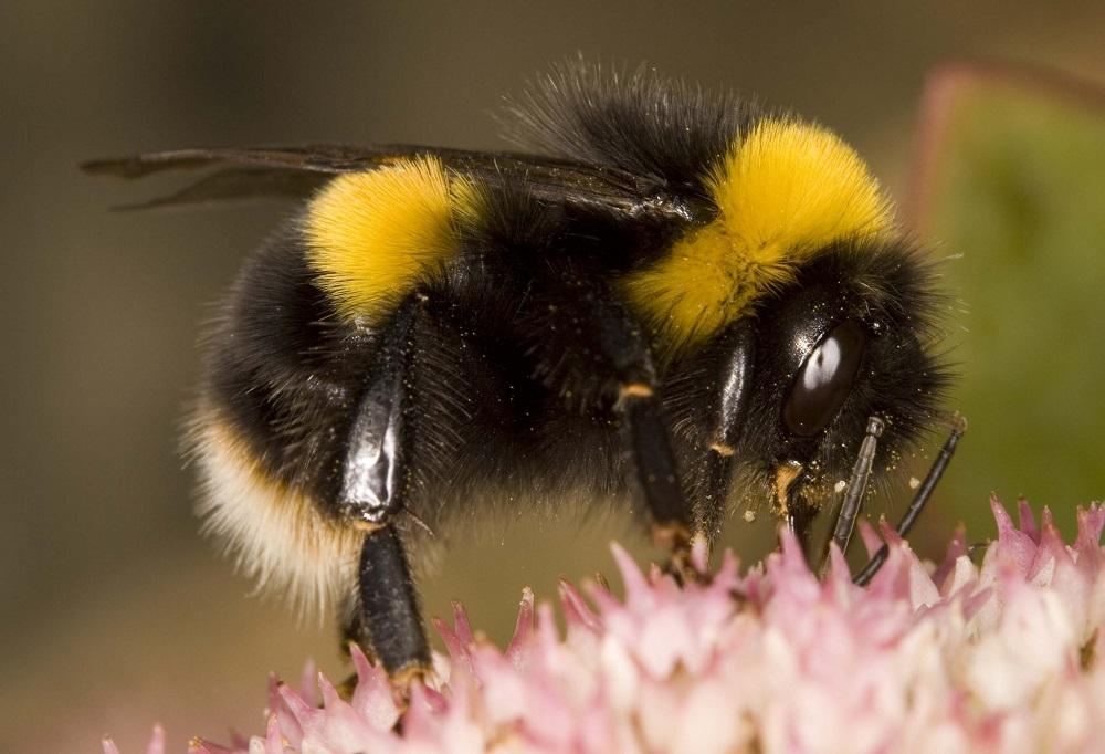 Bombus terrestris - buff-tailed bumblebees. Photo via Bumblebee Conservation Trust.